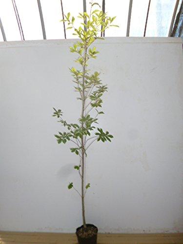 【ノーブランド品】コナラ樹高1.5m前後18cmポット【8本セット】 B00W4VX36Q
