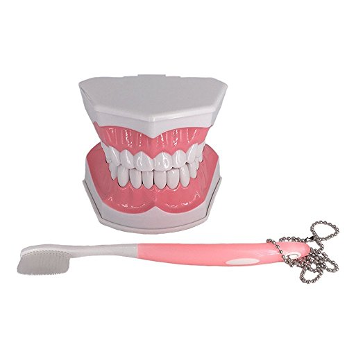 Large Dental Teeth Model Tooth Study Tools with Removable Lower Teeth for Kids Oral Care Teaching ()