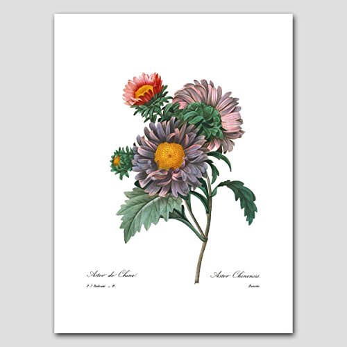 Asters Art (Purple Room Decor, Flower Wall Botanical) Cottage Artwork by Pierre (Aster Paper)
