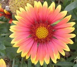 Mixto Populares magn/íficas Gazania Rig Semillas de flores Semillas de /África semillas para el jard/ín de DIY Semillas Suministros 50Pcs