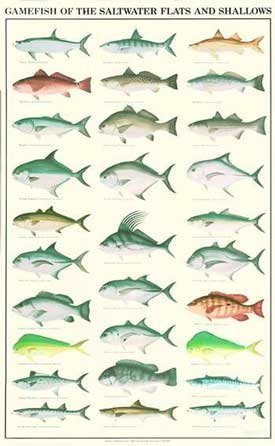 (Gamefish of the Saltwater Flats and Shallows Poster and Identification Chart)