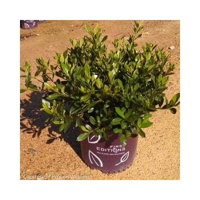 Double Mint Gardenia : Garden & Outdoor