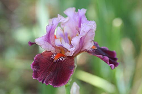 (~Raspberry Chiffon~Unidentified bi-Tone Tall Bearded iris Rhizome rhizomes)