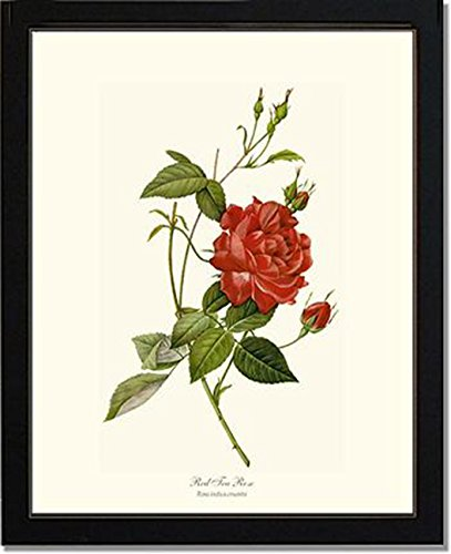 vintage-botanical-art-print-roses-tea-rose-red-redoute