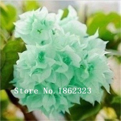100pcs / bag ,Bougainvillea seeds, potted seed, flower seed, variety complete, the budding rate 95%, (Mixed colors)