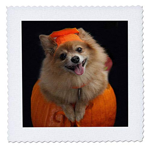 3dRose Sandy Mertens Halloween Designs - Happy Pomeranian Dog on Jack o Lantern Halloween, 3drsmm - 20x20 inch Quilt Square (qs_290230_8) ()