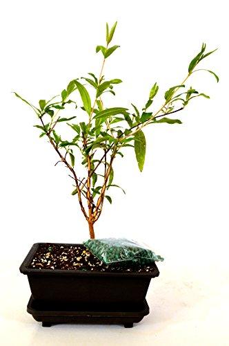 (9GreenBox - Dwarf Pomegranate Mame Bonsai with Water Tray and Fertilizer)