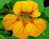 Heirloom 40 Seeds Garden Nasturtium Tropaeolum Canary Creeper Canarybird Mashua Seeds B0095