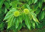 DUNSTAN CHESTNUT TREE- 3-4 Feet Tall