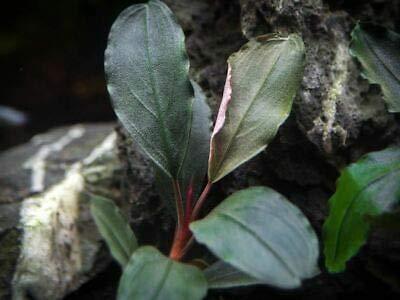 2 Plant Dark Blue Buce Plant Bucephalandra sp.''Dark Blue'' NHKM33