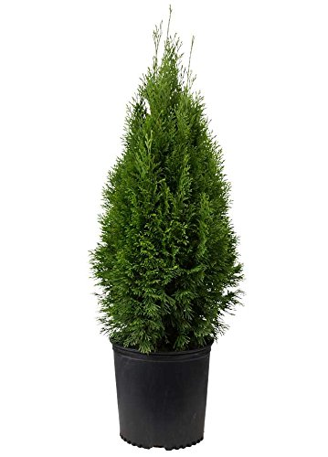 Emerald Green Arborvitae Tree (Thuja) - Live Plant - Trade Gallon Pot by New Life Nursery & Garden