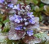 Classy Groundcovers - Bugleweed 'Chocolate Chip' 'Valfredda', A. tenorii {25 Pots - 3 1/2 in.}