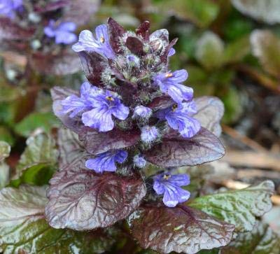 Classy Groundcovers - Bugleweed 'Chocolate Chip' 'Valfredda', A. tenorii {25 Pots - 3 1/2 in.} by Classy Groundcovers (Image #9)