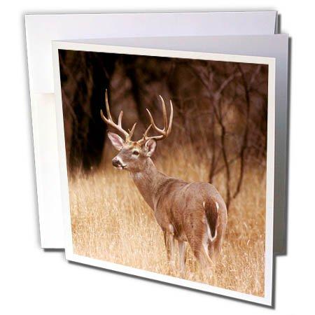 Canyon Greeting Cards - 3dRose Danita Delimont - Deer - White tailed deer alert to predators, Choke Canyon State Park, Texas - 1 Greeting Card with envelope (gc_260107_5)