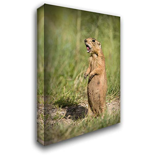 (Utah, Bryce Canyon Utah Prairie Dog Calling 26x38 Gallery Wrapped Stretched Canvas Art by Welling, Dave)