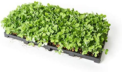 Extra Strength Microgreens Seedling Trays, Seed Starter Growing Kit. Larger than 1020 Trays WITH Holes for Barley, Wheat Grass, Fodder, Planting, Seeds, Propagation System NEW TRAY DESIGN