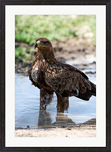 Tawny Eagle, Ndutu, Ngorongoro, Tanzania by Panoramic Images Framed Art Print Wall Picture, Espresso Brown Frame, 27 x 37 inches