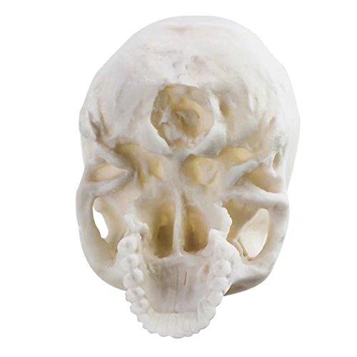 BoNew-Oral 1:1 Replica Realistic Human Skull Head Bone Resin Model Life Size