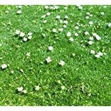 Irish Moss (Sagina subulata) 2500 Seeds