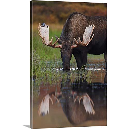 GREATBIGCANVAS Gallery-Wrapped Canvas Entitled Bull Moose Walks Through A Pond in Denali National Park, Interior, Alaska by Milo Burcham 12
