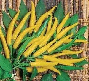 Graines de piment 10 Doux CHILLIESontheWEB Apache F1