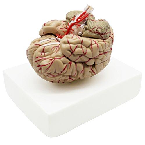 a&p brain model