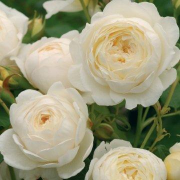 Amazon david austin english roses claire austin garden outdoor david austin english roses claire austin mightylinksfo