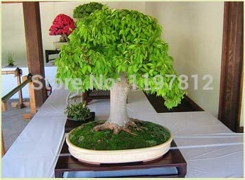 5PCS//BAG SEEDS ORGANIC FRESH GREEN TEA TREE PLANT SEEDS HOME GARDEN GIFT SUPREME