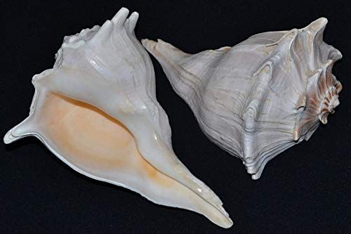 Bedroom Spindle (OutletBestSelling Polished Sea Shells \ Beach Shells 2 PCS Left Handed Long Spindle Whelk SEA Shell 6