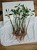 AQUACULTURE NURSERY FARMS Mangrove Tree Seedlings