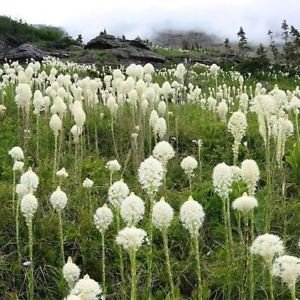 Bear Grass - Bear Grass Ornamental Grass Seeds (Xerophyllum tenax) 200+Seeds