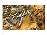 Eastern Diamondback rattlesnake 24.00 x 18.00 Poster Print