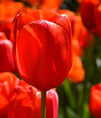 Tulip Avignon,Single Late Tulips, Flower Bulb - 10 Bulbs