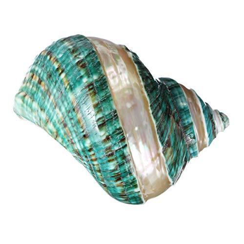 Natural Large Turban Shell Green Coral Sea Snail Home Fish Tank Decorations 10.5-11CM ()