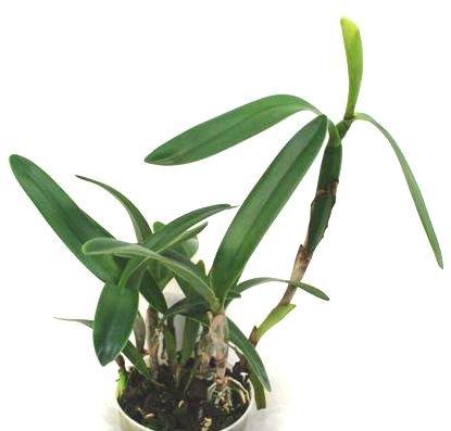 1 blühfähige Orchidee der Sorte: Cattleya bowringiana, 13cm Topf