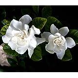 9GreenBoxs: Perennial Corsage Gardenia Plant 10 Seeds-Gardenia thunbergi