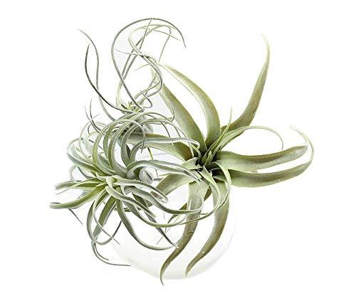 Yokoke Artificial Pineapple Grass Air Plants Fake Flowers Faux Succulents Flocking Tillandsia Bromeliads Home Garden Decor 3 Pcs 11 Inches Assortment