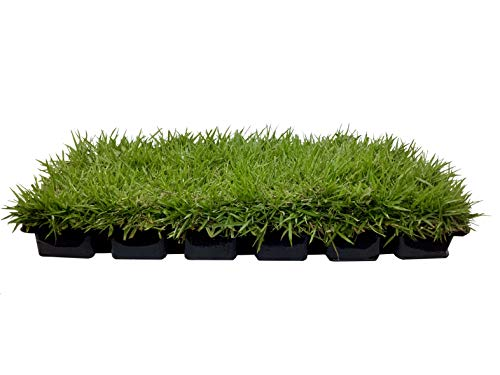 "Zoysia Sod Plugs - Large 3"" x 3"" Plugs - 18 Count Tray - Drought, Salt & Shade Tolerant Turf Grass"