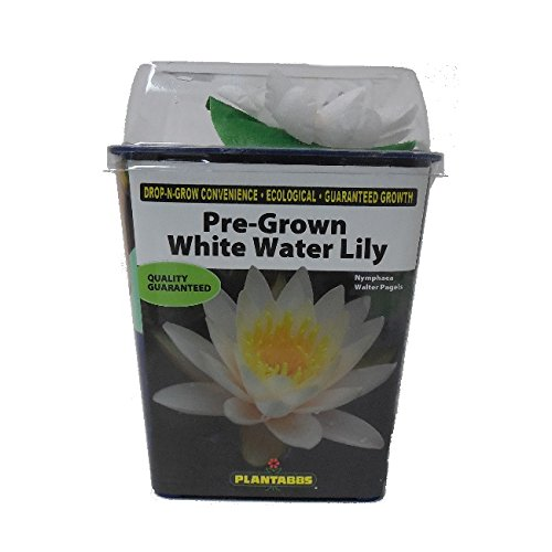 Pre-Rooted! Live Aquatic Plant, Hardy Pre-Grown White Water Lily Nymphaea Venusta (1 each) ()