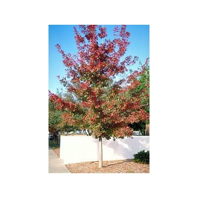 Shumard Red Oak Tree - 2 Year Old 4-5 Ft Tall - Bob Wells Nursery : Garden & Outdoor