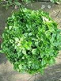 Basil Greek Yevani Ocimum basilicum 1,000 seeds