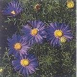 Tahoka Daisy 500 seeds