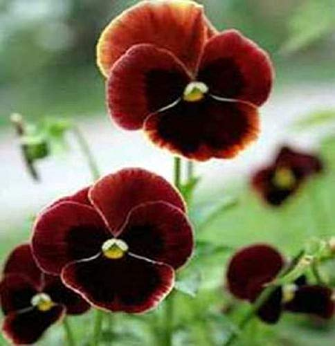 Beautiful 50ct of Pansy Seeds, Claret, Swiss Giant Pansies, (Heirloom) | 99% Pure Seeds