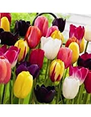 TULIP TALL MIXED TRIUMPH LONG STEM BED BORDER SPRING FLOWERS BULBS PLANTS