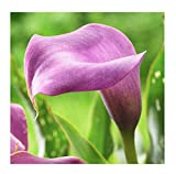 Lavender Jewel Calla Lily