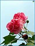 Promotion! 200pcs giant Hibiscus seeds 25 kinds HIBISCUS ROSA-SINENSIS Flower seeds