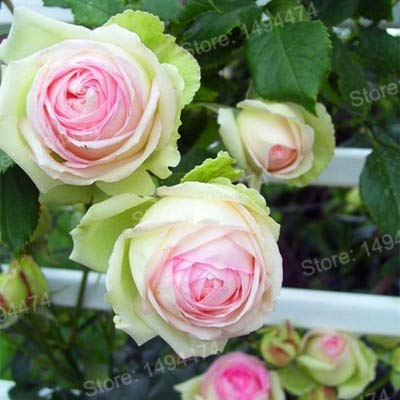 Polyantha Rose - 100pcs/bag Mix Color Climbing Flower Climbing Rose Plants polyantha Rose plantas, Beautiful Seeds Plant for Home Garden: Green