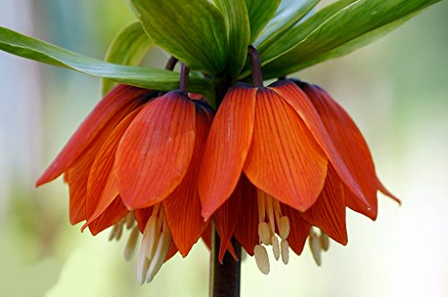 Red Crown Imperial Lily 1 Bulb - Fritillaria rubra - 20/24 cm (Crown Imperial Bulbs)