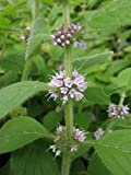 Yunakesa Wild Mint Seeds (Mentha ARVENSIS) a.K.a Field Mint, Corn Mint,Aromatic Perennial (1 packet-500 Seeds)