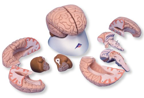 3B Scientific Deluxe 8-part brain